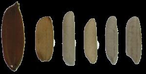 Os diferentes tipos de arroz
